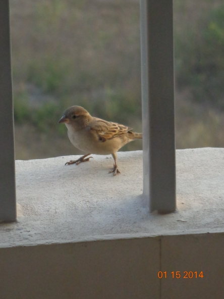A sparrow in the balcony hopping about.