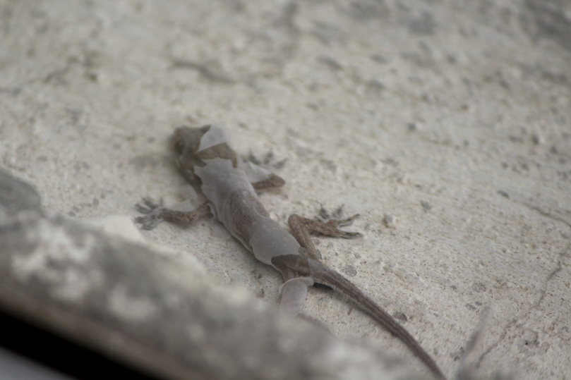 A molting house lizard.