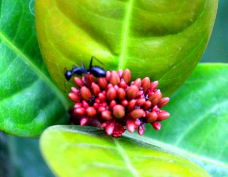 Ant on flower- magnified.