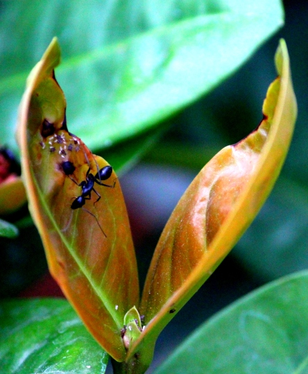 Ant on a two-leaf junction.